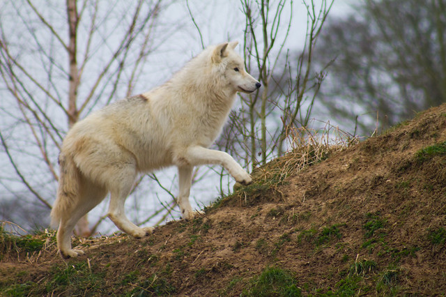 how to walk like a wolf