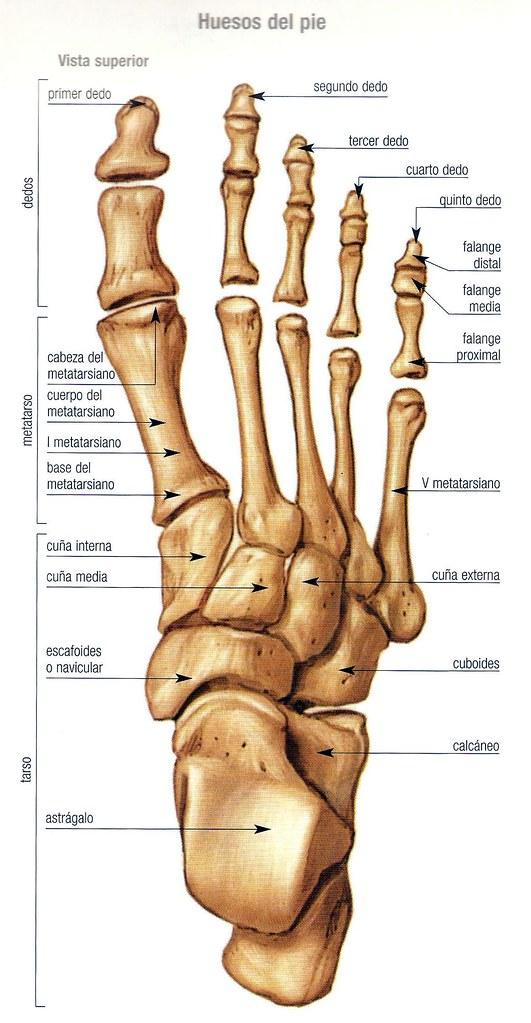 Encantador Anatomía Esqueleto Del Pie Elaboración - Anatomía de Las ...