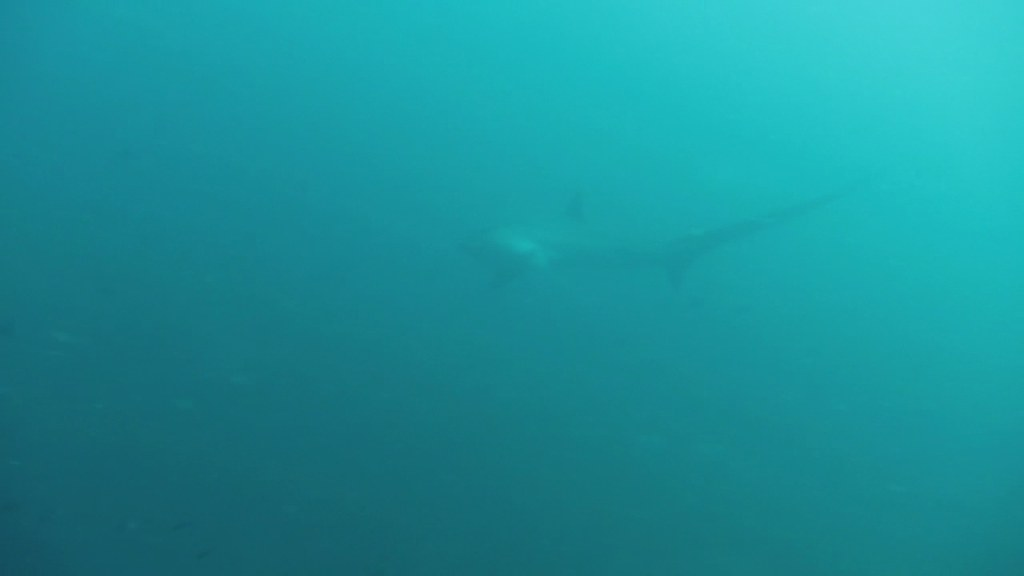 Thresher shark visits cleaning station a thresher shark for Fish cleaning station near me