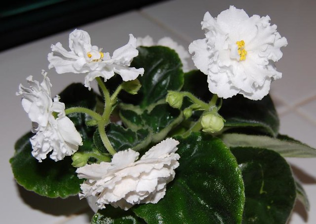 African Violet 'White Queen' | Flickr - Photo Sharing!