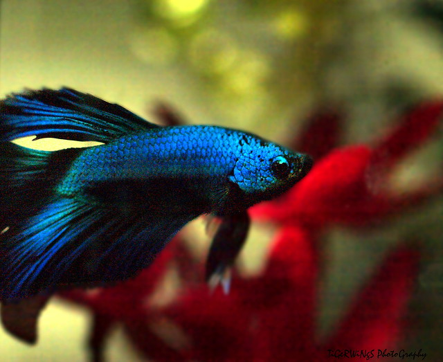 Dragon betta flickr photo sharing for Dragon scale betta fish