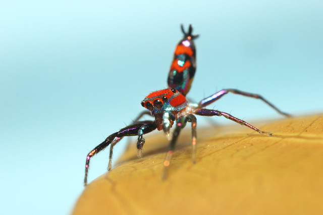Colorful jumping spider - photo#27