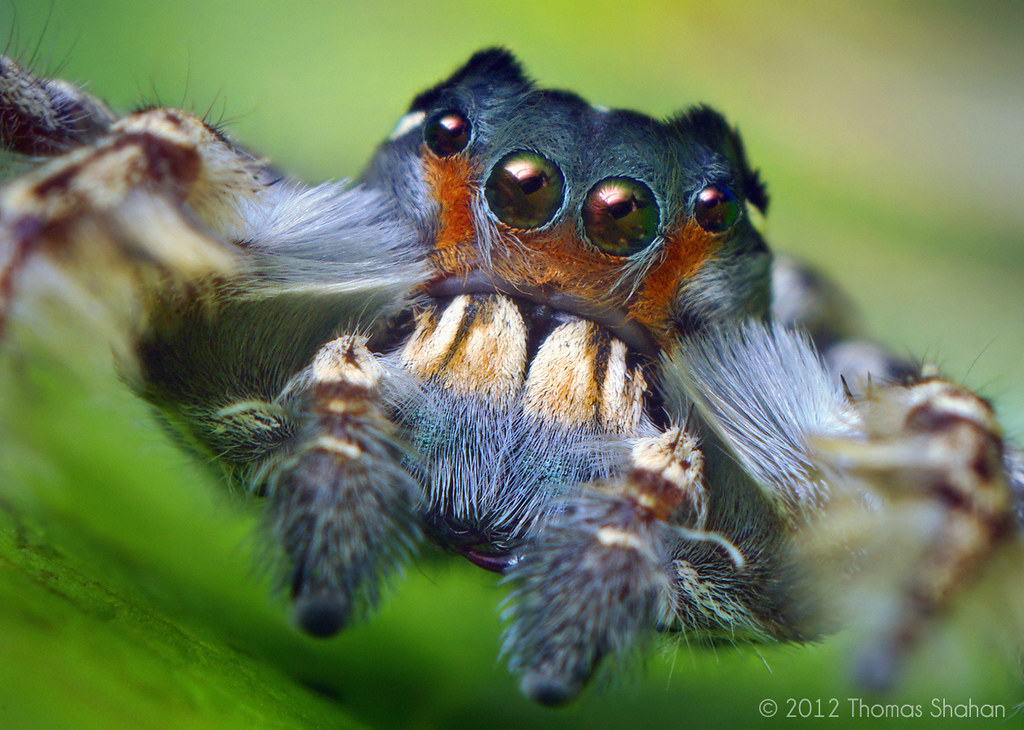 Jumping spider face