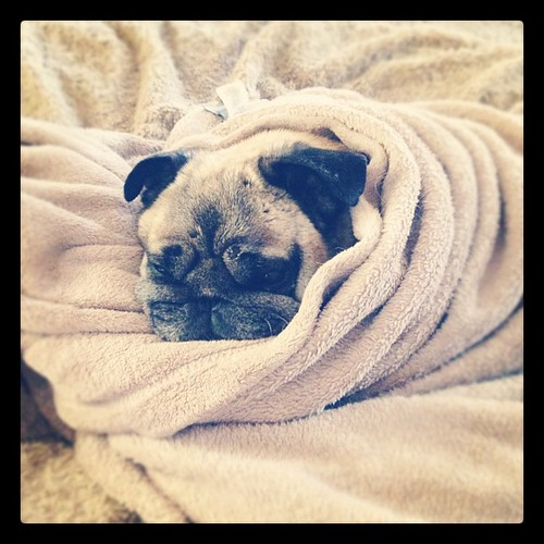 Pugs in a blanket. Snug pug. I couldn't decide. #pug #dog #cute #petstagram | by ...love Maegan
