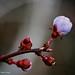 A Budding Blossom for Xeni