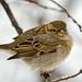 Sparrow's Look...