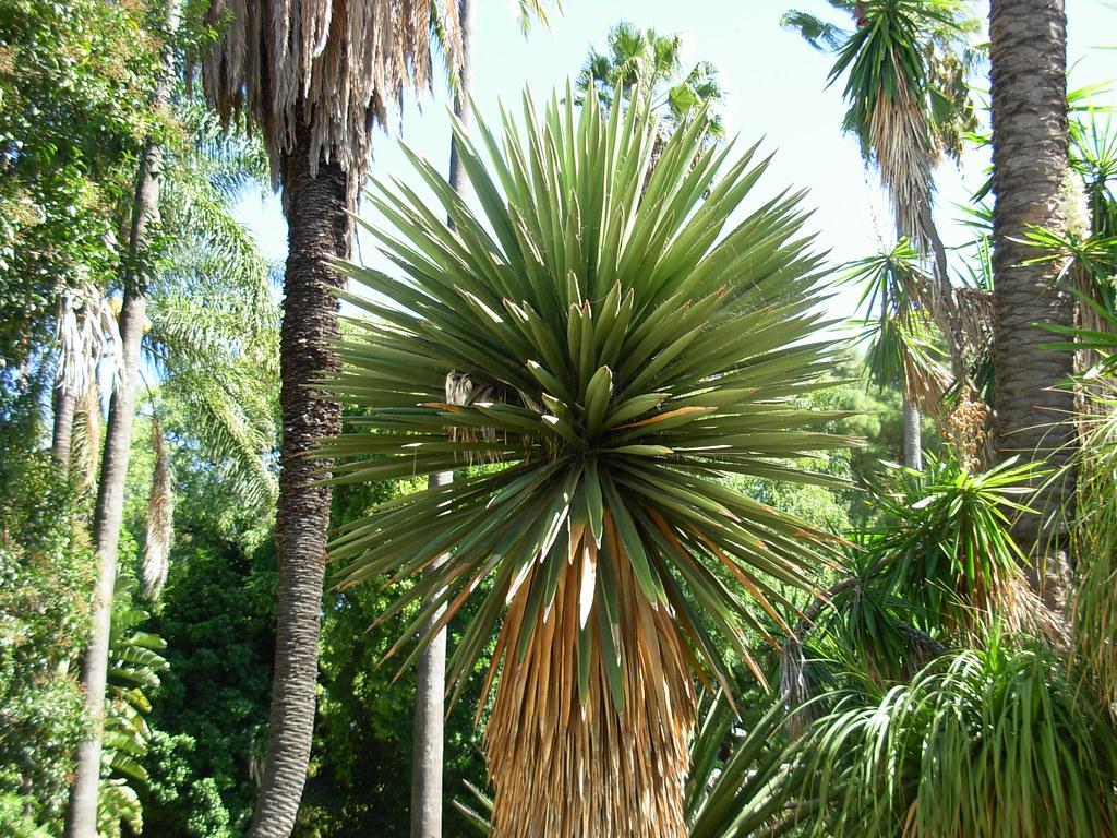 pedras jardim botanico:Yucca sp.