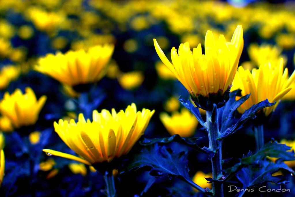 Tet Flowers | Flowers for the Vietnamese New Year (Tet ...