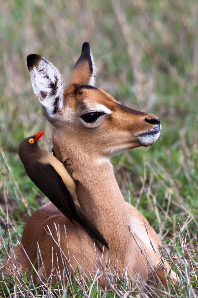red billed oxpecker and impala relationship