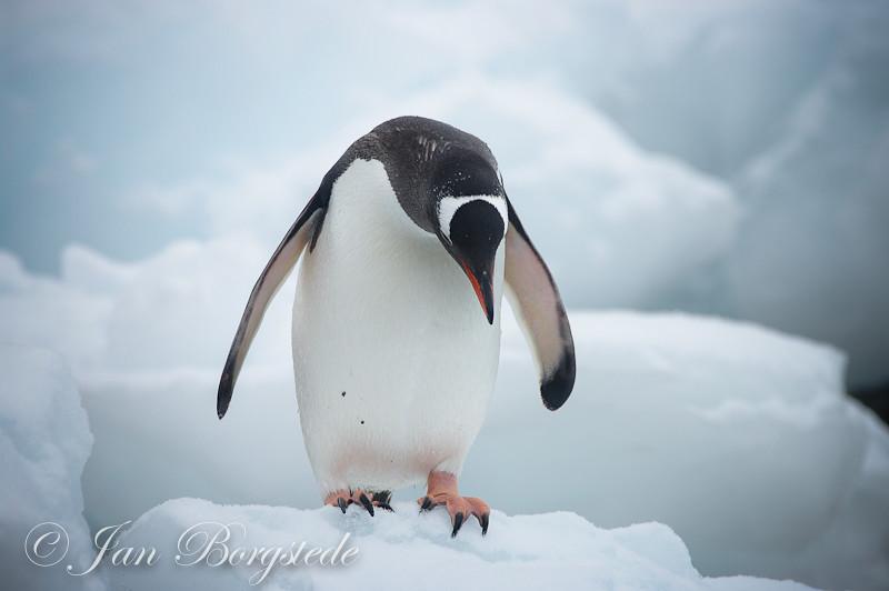 gentoo penguin gentoo penguin at antarctica eselspinguine pygoscelis pap flickr
