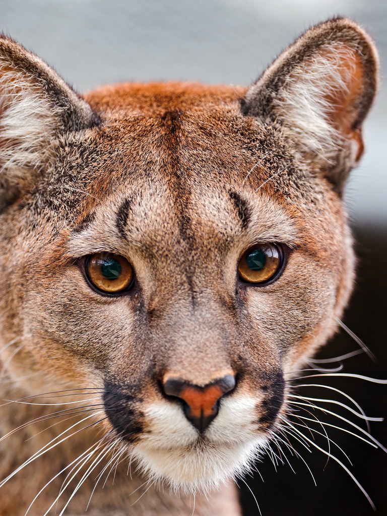 Puma Portrait A Portrait Of One Of The Beautiful Pumas