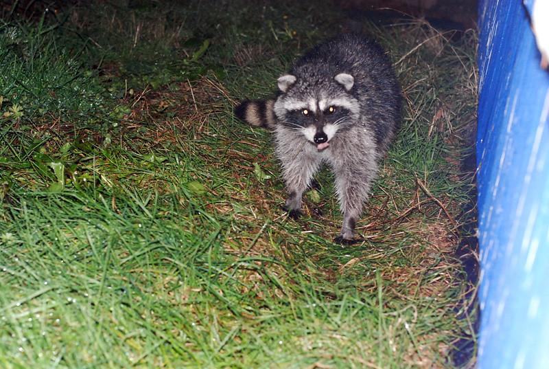 how to make raccoons go away