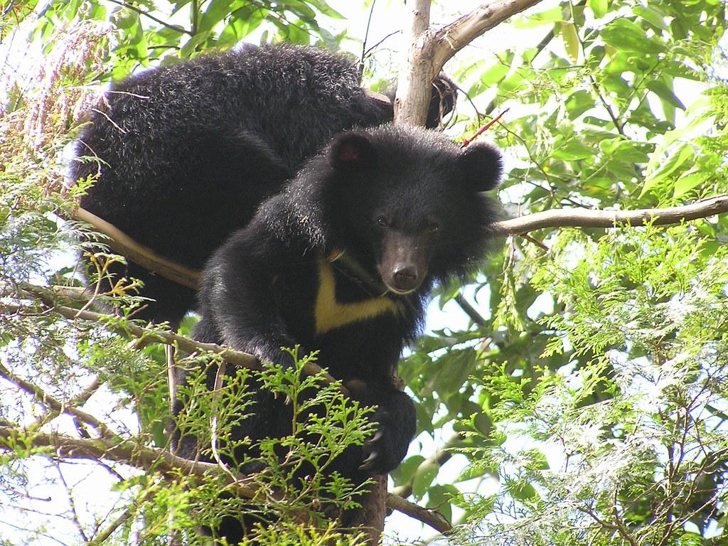 台灣黑熊。(資料照片)