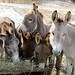 Donkey hay fest