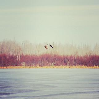 bird fight over frozen lake | by Laser Bread