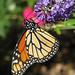 12 Days of Christmas Butterflies - #12 Monarch