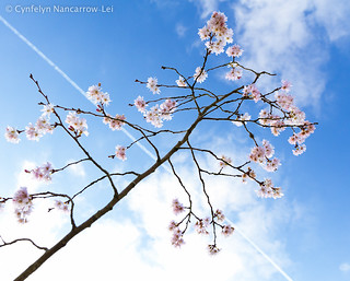 Cherry Blossom | by CunoCyn