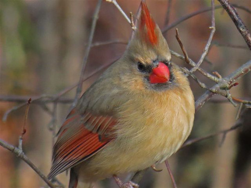 Photo of the Week - Female Cardinal (RI) | by U. S. Fish and Wildlife Service - Northeast Region