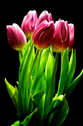 Tulips | by blog.jmc.bz