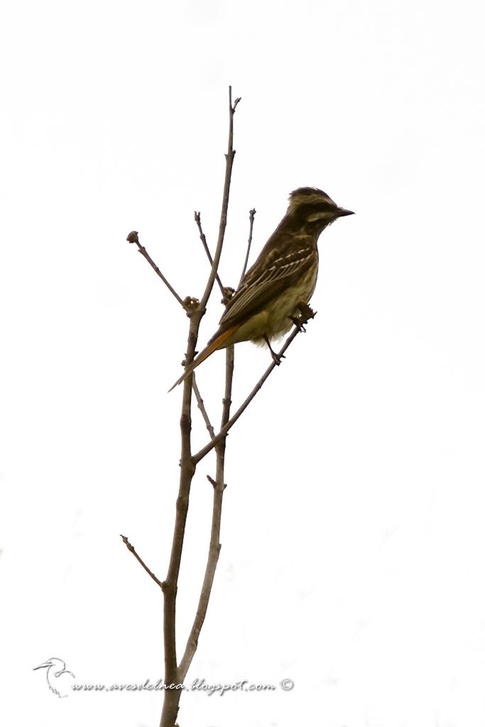 Tuquito Rayado (Variegated Flycatcher) Empidonomus varius
