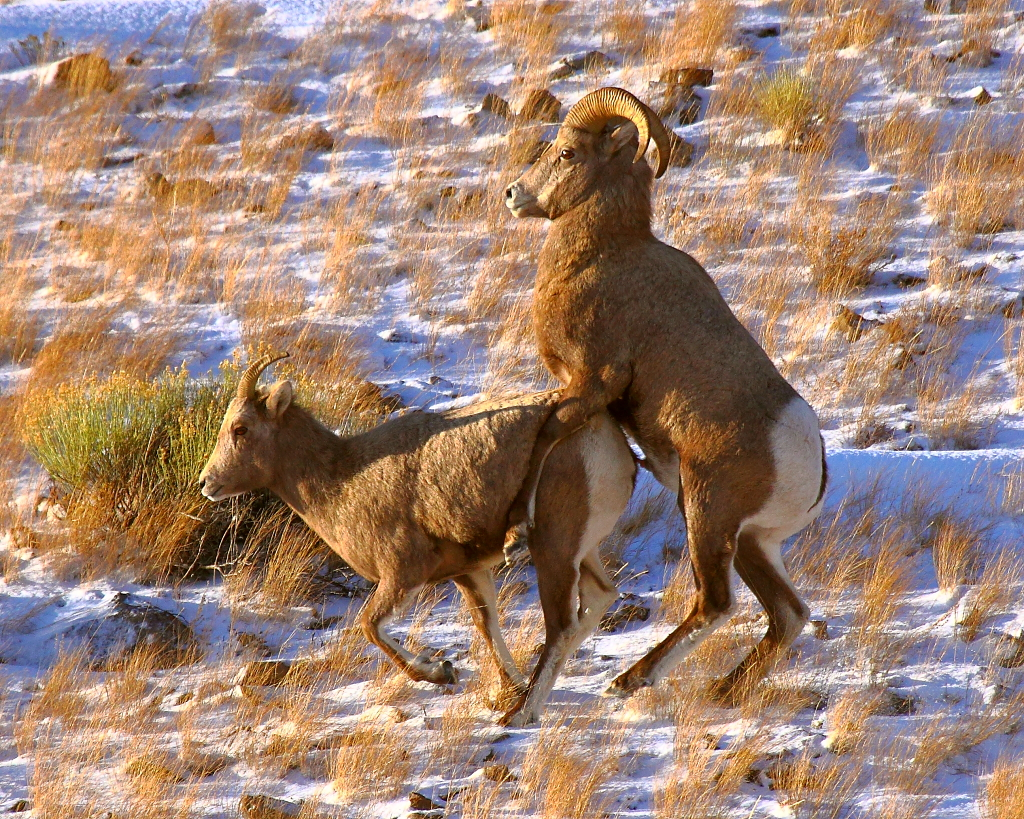 Ram Big Horn >> IMG_5590 4/5 Bighorn Sheep Ram Mounting on Ewe (PG-13 Seri… | Flickr