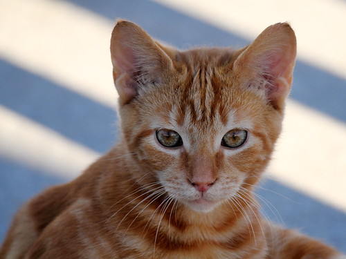 Tabby Cat Orange And White Sioux Falls