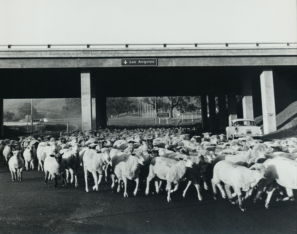 Sheep under United States Highway 101 | Sheep being herded ... | 1024 x 807 jpeg 382kB