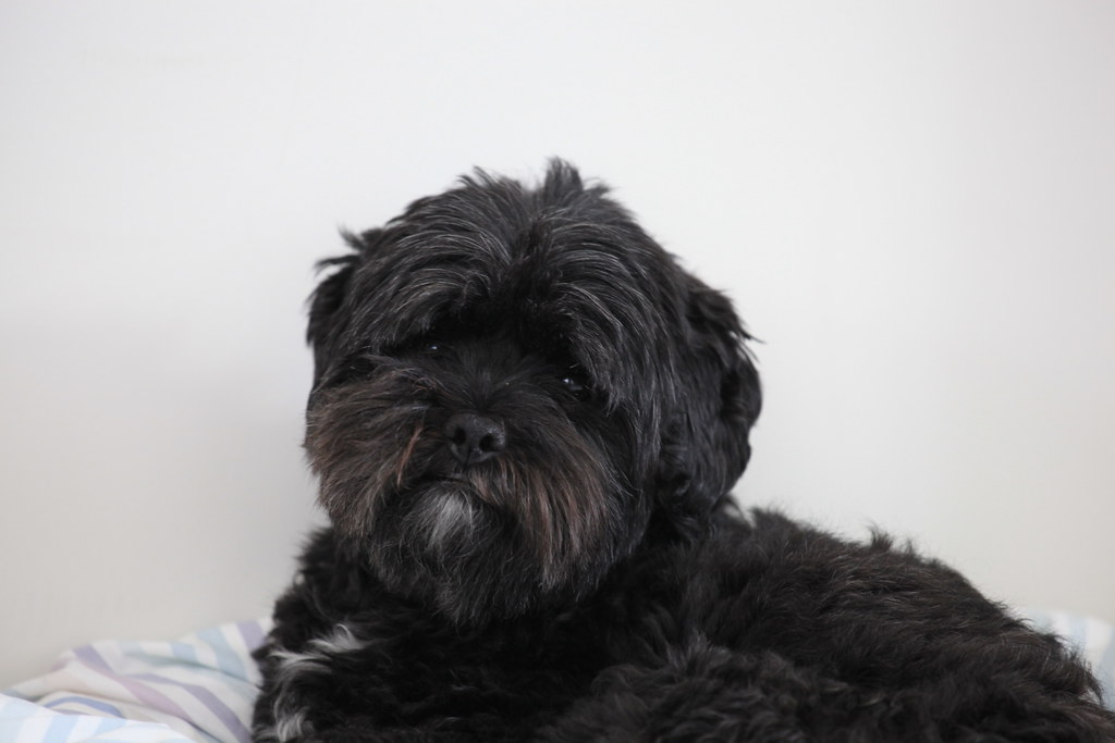 Wonderful Teddy Haircuts Shih Poo Haircuts Puppy Remy Poo Puppy Puppy Dogs