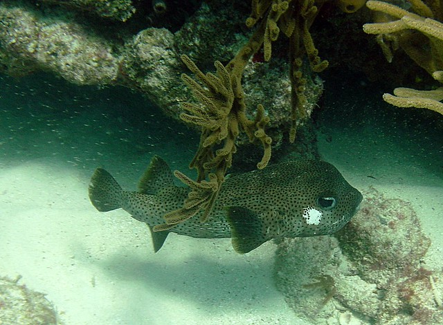 Puffer fish looe reef flickr photo sharing for Puffer fish florida