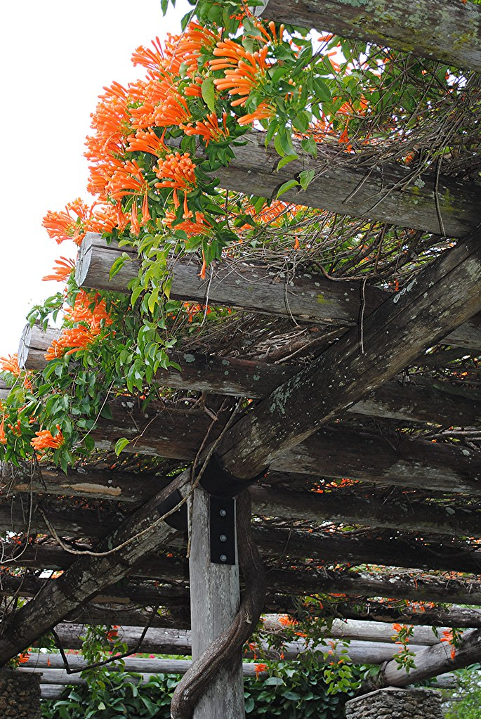 Flame Vine Graces Vine Pergola This Brazilian Vine Is