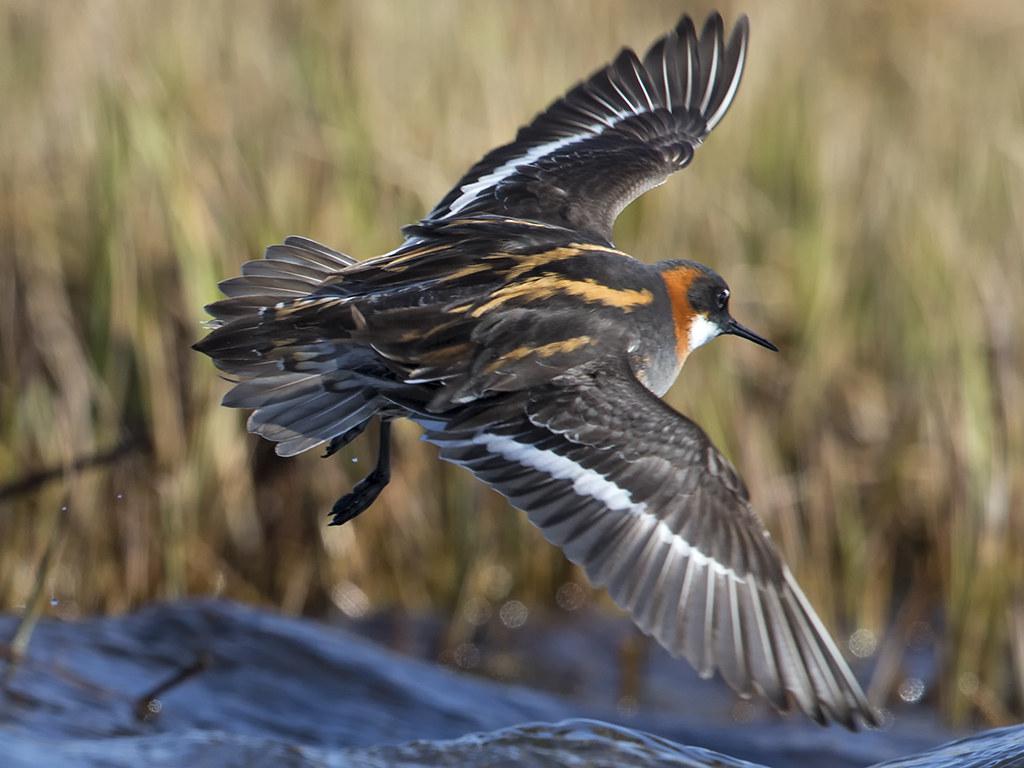 Red-necked Phalarope   Iceland