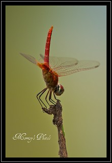DRAGONFLY ISSAN (SONG DAO) THAILAND , ▶ NOT MACRO ◀ © | by Morrisy12345