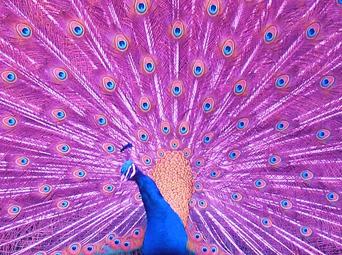 Pink peacock bird - photo#25