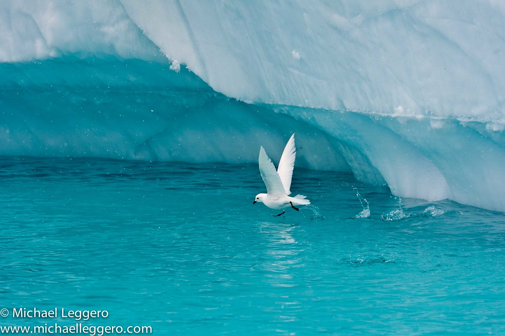 Snow Petrel The Snow Petrel Is The Only Member Of The