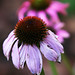 Last Purple Coneflowers of the Season