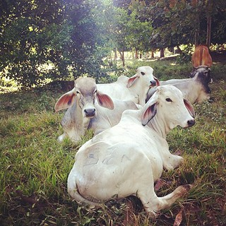 Panamanian cows have the longest ears | by kathleennuffort