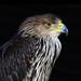 Eastern imperial eagle - Kaiseradler