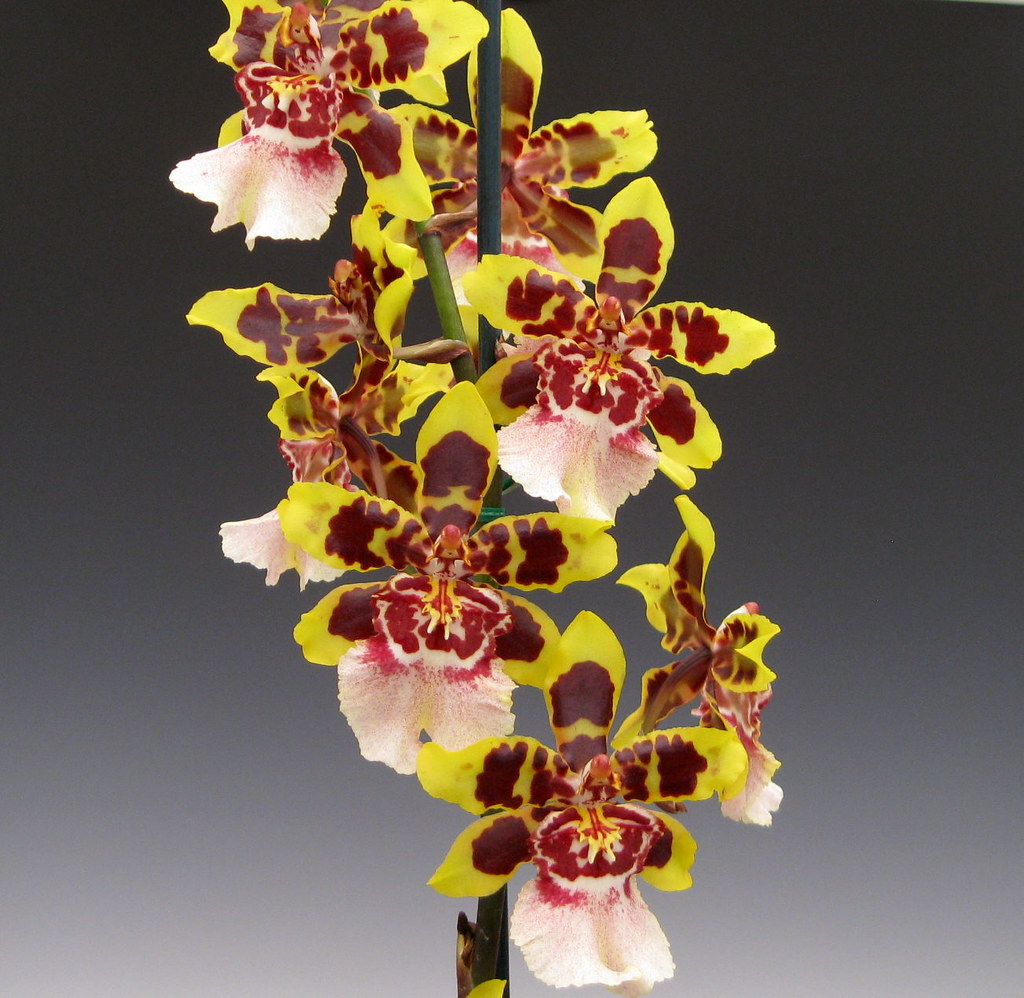6768887243 on oncidium orchid care