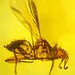 Bat fly in amber