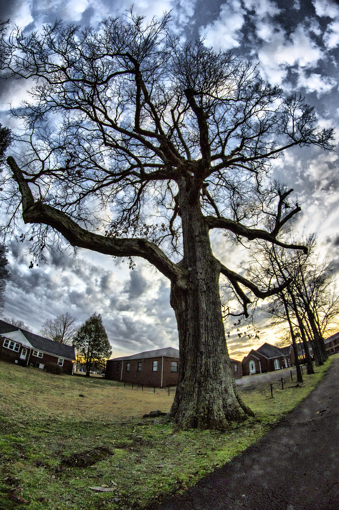 Biggest Oak Tree In Tennessee Hdr Approx 470 Years