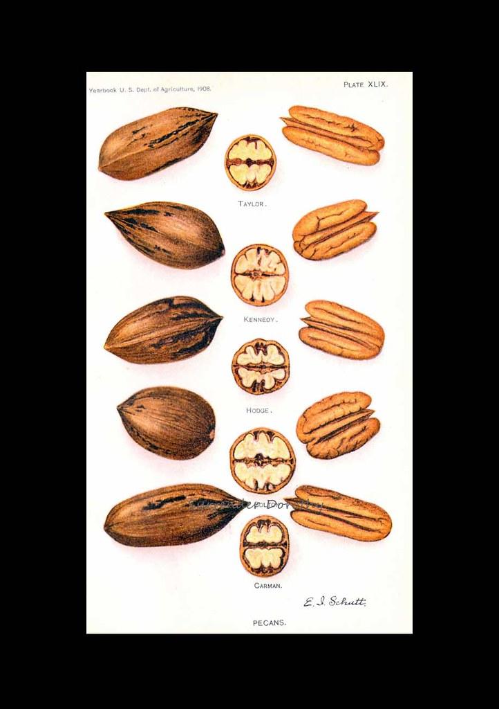 Pecan Varieties 1908 Usda Field Trial Botanical Illustrati