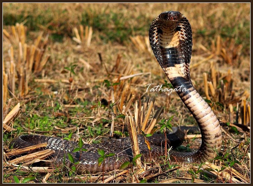 Monocled cobra (Naja kaouthia) | Tathagata Datta | FlickrNaja Kaouthia