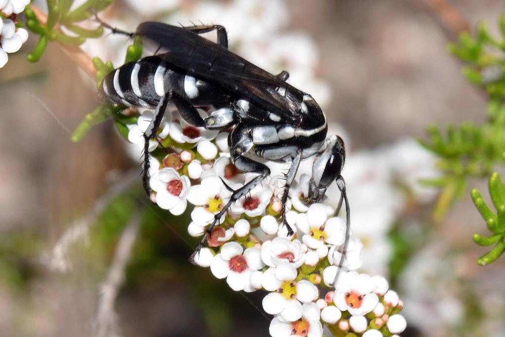 Types of black wasps - photo#50