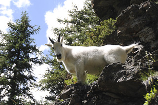 Mountain Goat RMNP 8-11 (2) | by Part Time Fotos