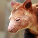 Ornate Tree-kangaroo