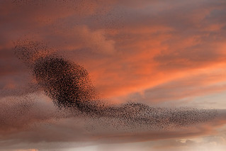 Starlings at Ham Wall | by GrahamMcPherson