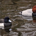 Tufted Duck and Common Pochard