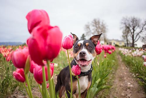Tulips-7392