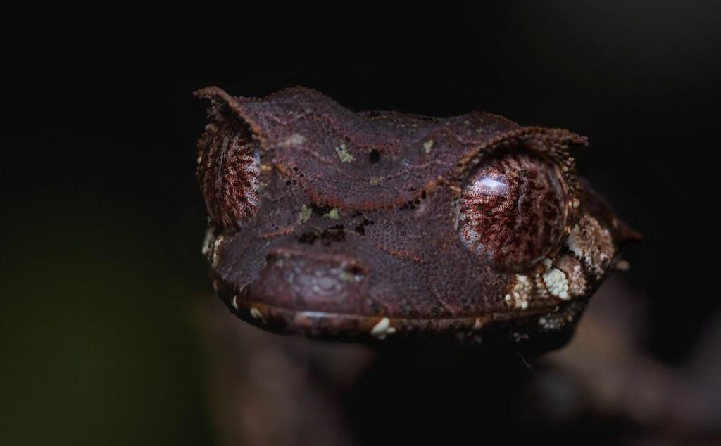 Satanic Leaf Tailed Gecko Uroplatus Phantasticus 2 1