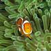Anemone fish at Wakatobi